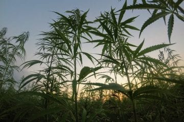 Cannabis plants growing outdoors in a field with sun shining through the plants