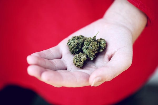 person in red shirt holding cannabis nugs