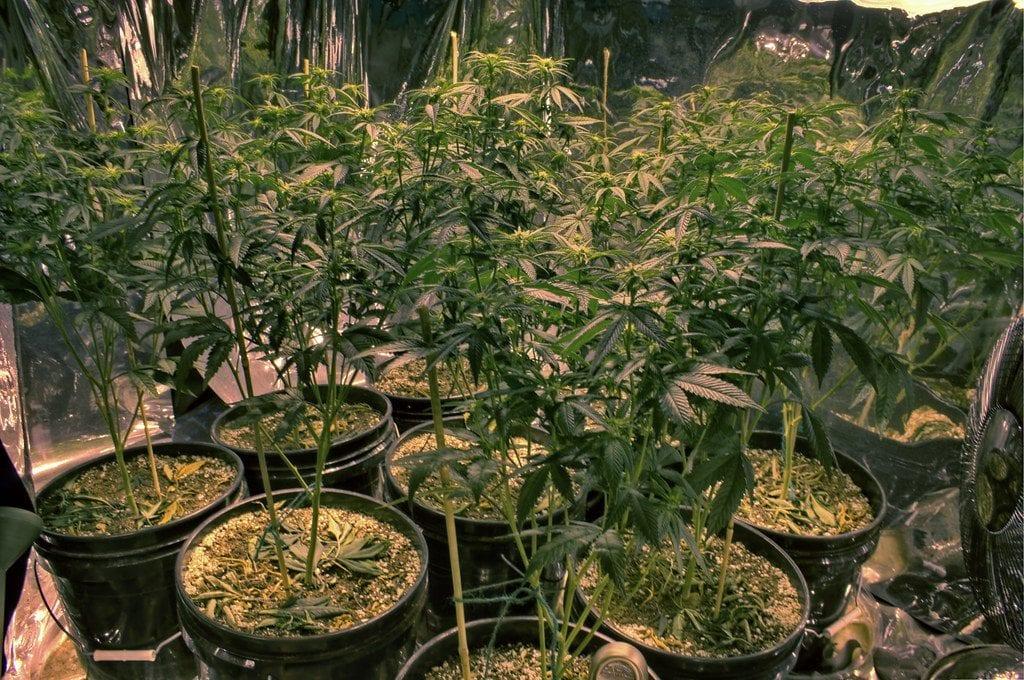 cannabis grow op. 10-15 plants in an aluminum foil room